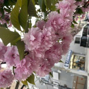 オフィス近くに咲いている八重桜?が満開でした。ジョブリンクスのカラーは、西宮市の市花(市の花)である桜色なんです!tk